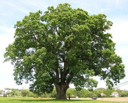 White Oak in New Jersey