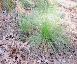 Longleaf Pine Grass Stage
