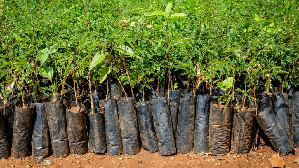 Trees about to be planted for reforestation